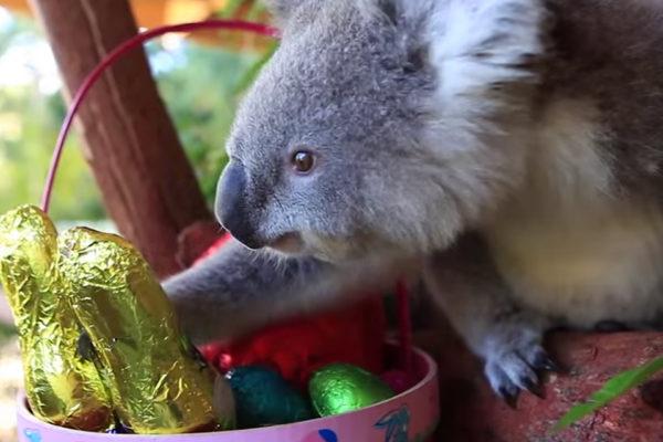 コアラ イースター 動物園
