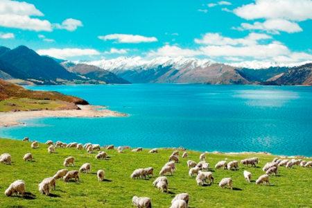 NZ 自然 羊 山