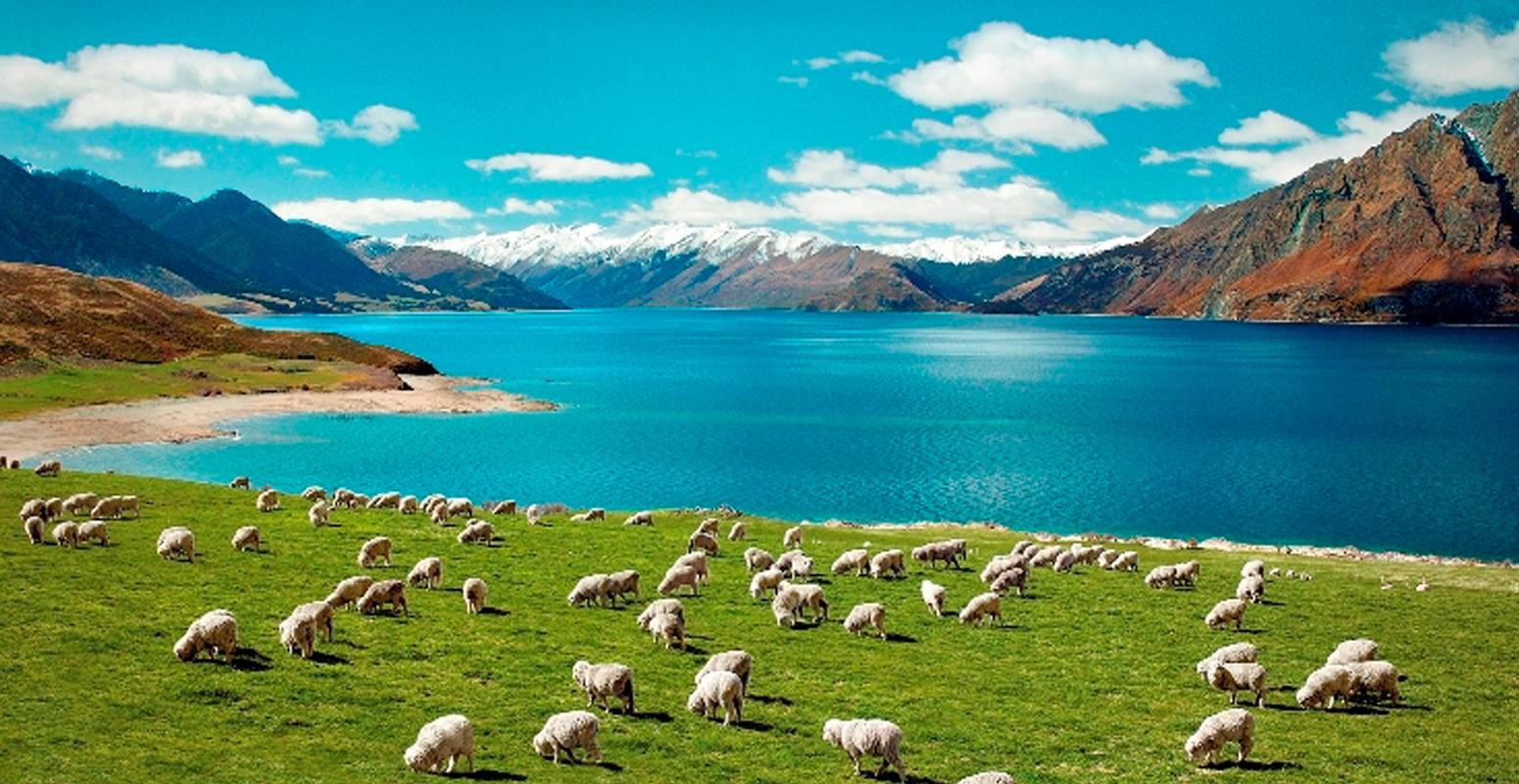 ニュージーランド 自然 羊