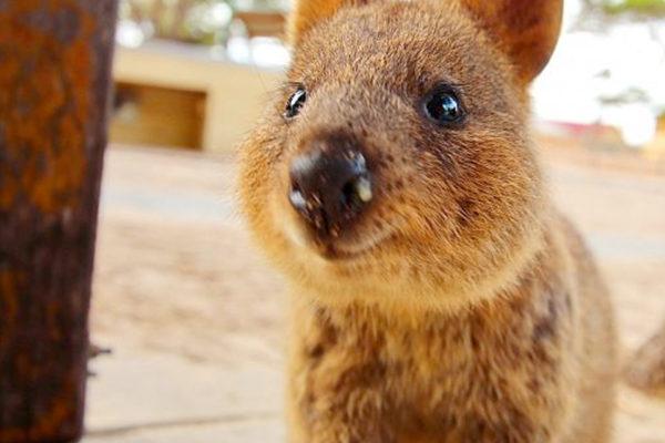 クアッカワラビー 可愛い 動物