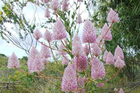 オーストラリアの野の花、プチロータスが満開