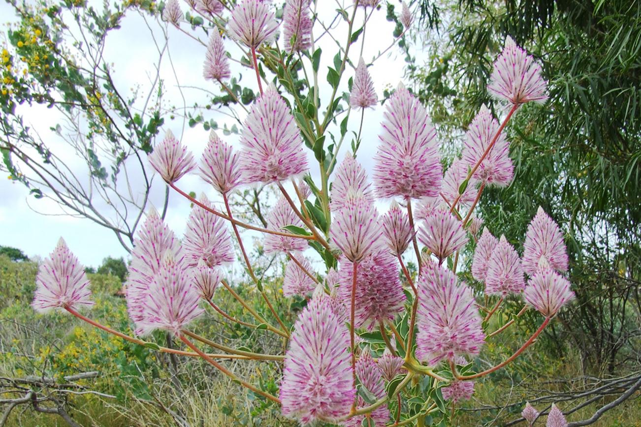 プチロータス 紫 花