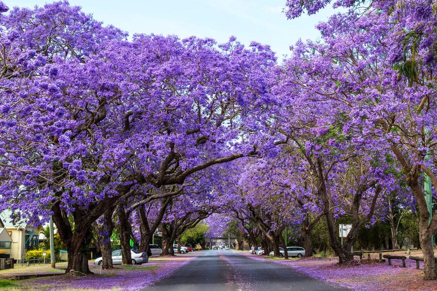 初夏を告げる亜熱帯の桜「ジャカランダ」の季節