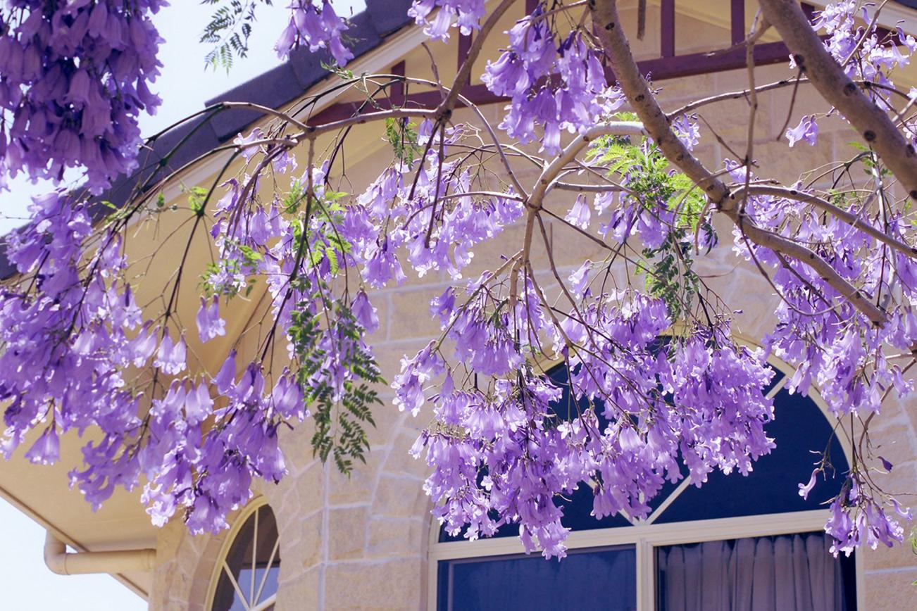 ジャカランダ 花 紫 夏 春