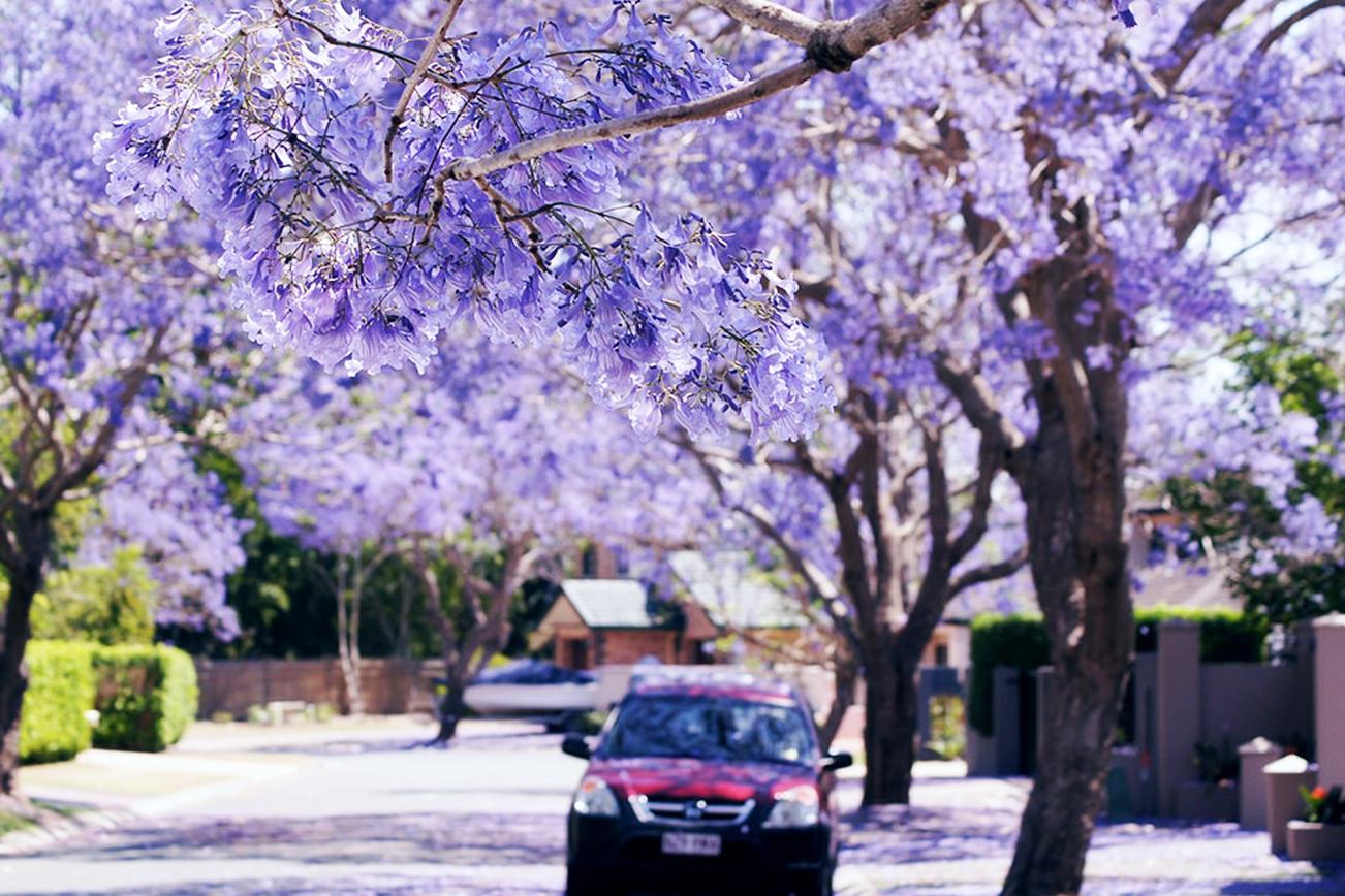 ジャカランダ 花 紫 季節