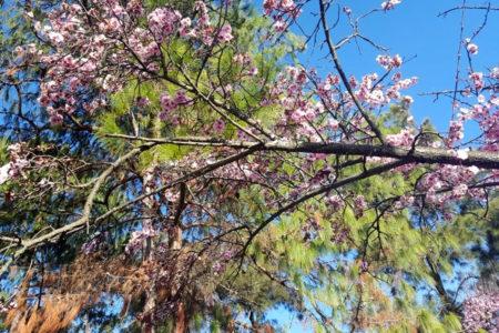 Auburn 桜祭り、シドニーの日本庭園