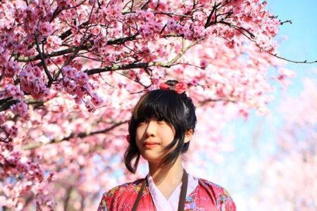 シドニーでも花見、春の訪れの桜を楽しむ