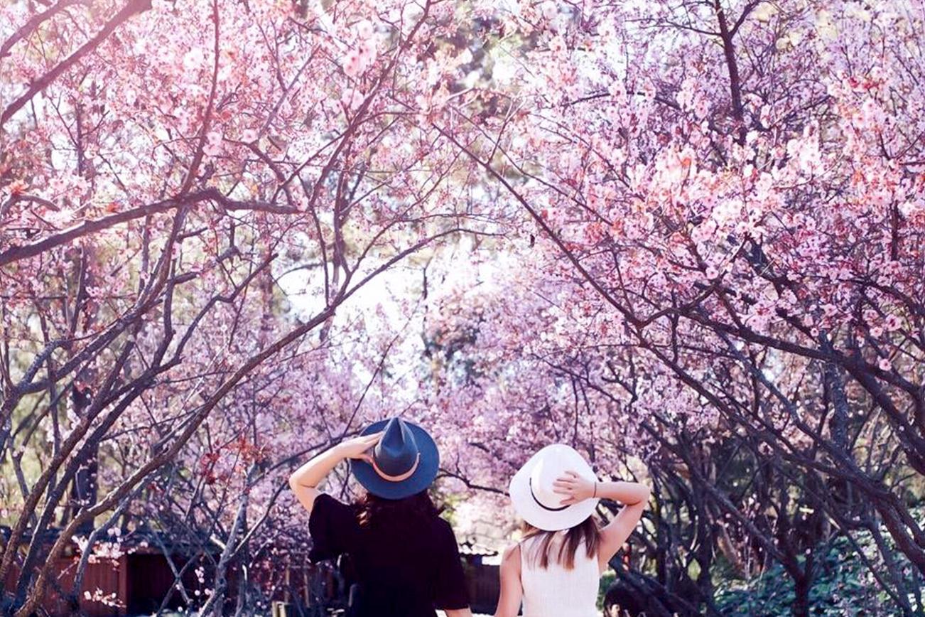 シドニーで桜の花見